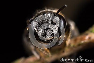 Halictidae Nomiinae - Halictid Bee portrait