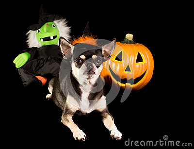 Halloween Chihuahua Witch