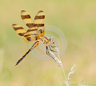 Halloween Pennant, Celithemis Eponina Royalty Free Stock Photography - Image: 26310617