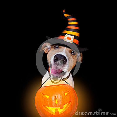 Free Halloween Pumpkin Dog Isolated On Black Stock Image - 78612771