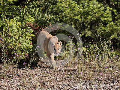 Halny lew na grasującym