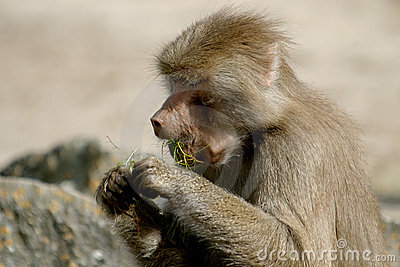 The Hamadryas Baboon is eating