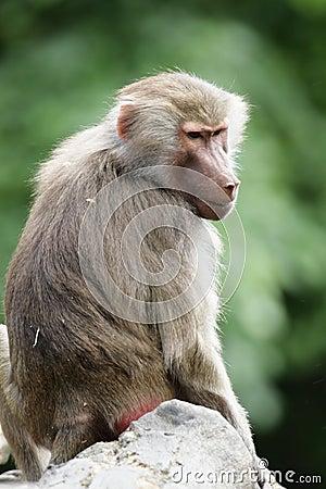 Hamadryas Baboon (Papio hamadryas)
