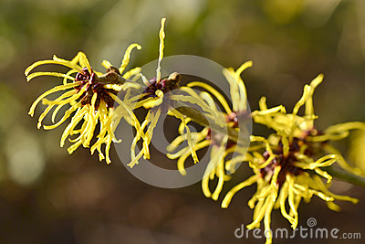 Hamamelis or witch-hazel.