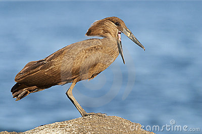 Hamerkop next to Lake Malawi