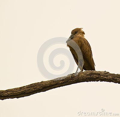 Hamerkop roosting on a branch