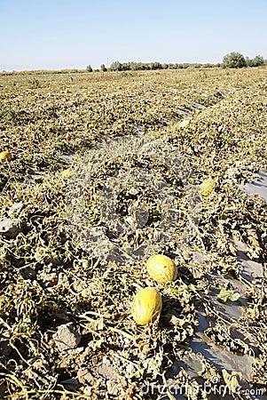 Hami melon cropland