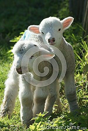 Hampshire Spring Lambs