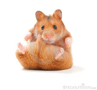 Free Hamster Stock Image - 11110051