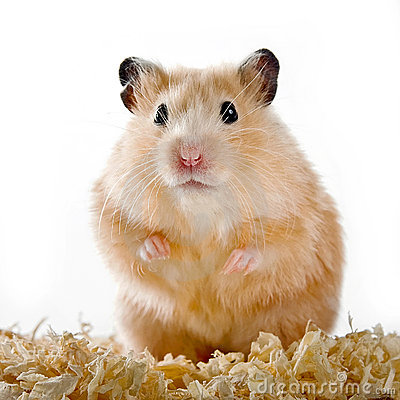 Free Hamster Royalty Free Stock Photo - 18517125