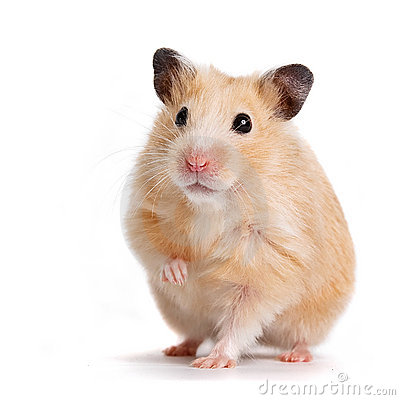 Free Hamster Stock Images - 18517174