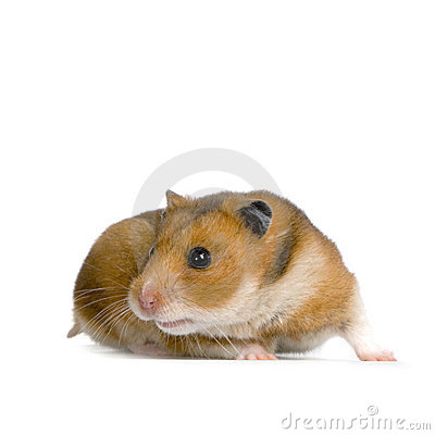 Free Hamster Royalty Free Stock Photography - 2280327