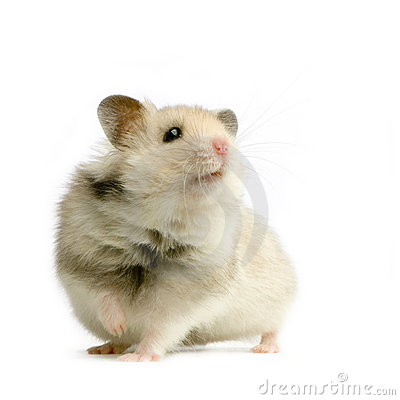 Free Hamster Royalty Free Stock Photo - 2331695