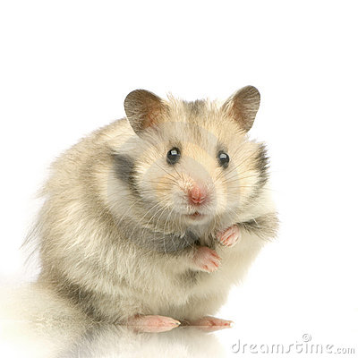 Free Hamster Royalty Free Stock Image - 2331886