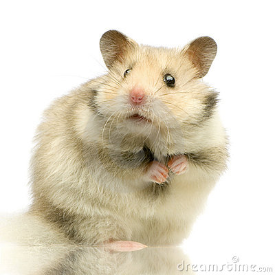 Free Hamster Royalty Free Stock Image - 2331896