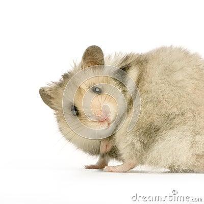 Free Hamster Stock Photo - 2332000