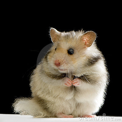 Free Hamster Stock Images - 2332084