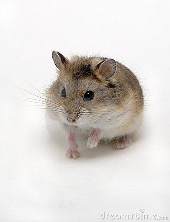 Free Hamster Stock Photography - 3740942