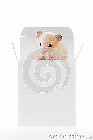Hamster branco na caixa
