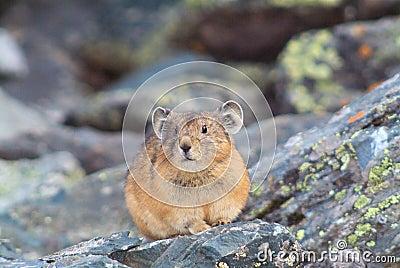 Hamster close portreit