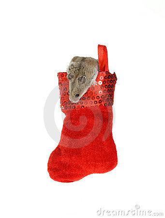 Hamster Coming out of a Hanging Christmas Stocking