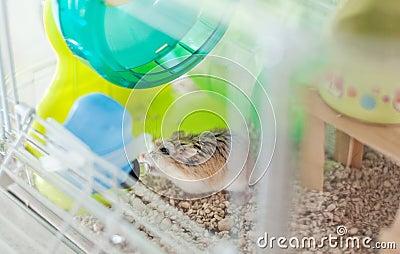 Hamster drinking