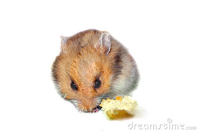 Hamster Eating Bread
