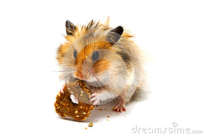 Hamster eating good cookies with nuts
