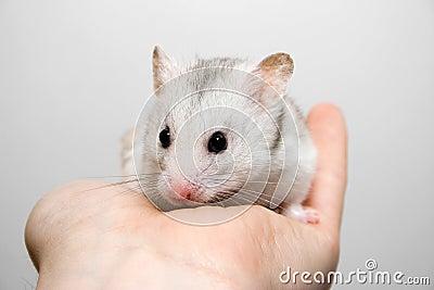 Hamster in hand