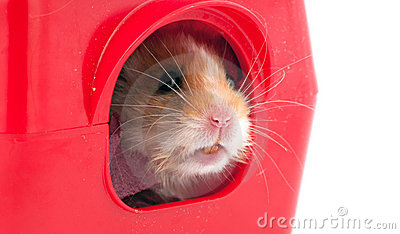 Hamster  inside a red plastic pets house
