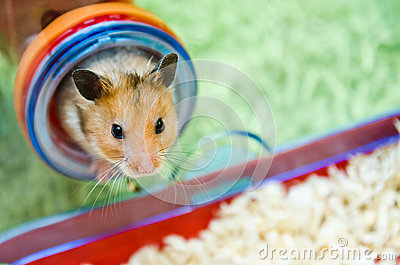 Hamster Peeping Out