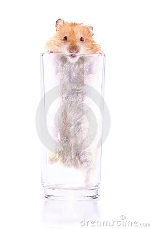 Hamster trapped in a glass