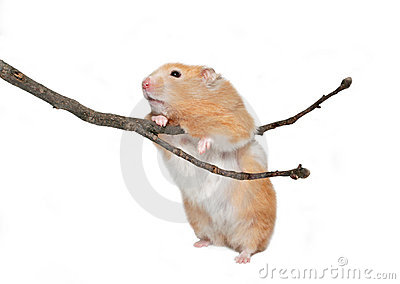 Hamster with twig