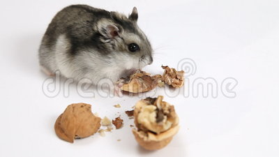 Videos hamster free Hamster Free