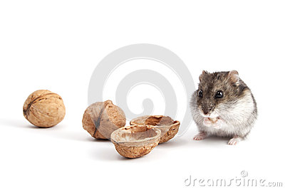 Hamster and walnuts