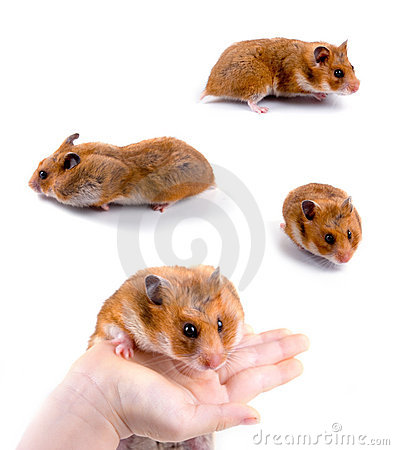Free Hamsters Royalty Free Stock Photo - 14167785