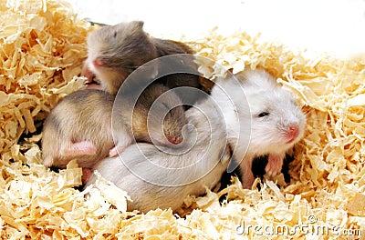 Hamsters babies pile