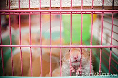 Hamsters in Cage