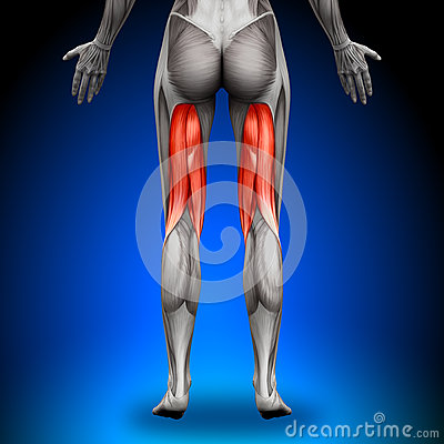 Free Hamstrings - Female Anatomy Muscles Stock Photo - 41041540