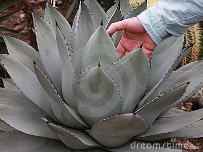 Hand in Agave Plant