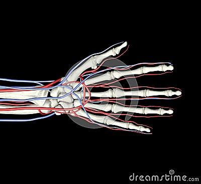 Hand Bones Arteries Veins