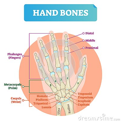 Free Hand Bones Vector Illustration. Labeled Educational Arm Structure. Royalty Free Stock Image - 125494256