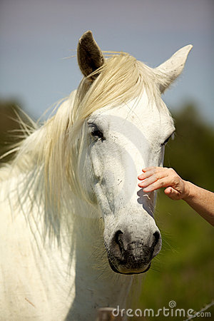Hand caressing a white horse head from Camargue