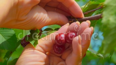 Hand collects ripe cherries from a tree branch. Female hand collects ripe juicy cherries from a tree branch on a bright sunny day stock video
