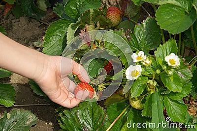 Hand der Kinder, die Erdbeere auf Gartenbett aufhebt