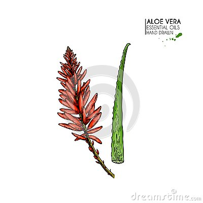 Free Hand Drawn Aloe Vera Flower. Engraved Colored Vector Illustration. Medical, Cosmetic Plant. Moisturizing Serum Royalty Free Stock Photography - 129540367