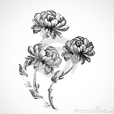 Free Hand-drawn Bouquet Of Three Flowers Of Peonies Vintage  Background  Royalty Free Stock Image - 55899516