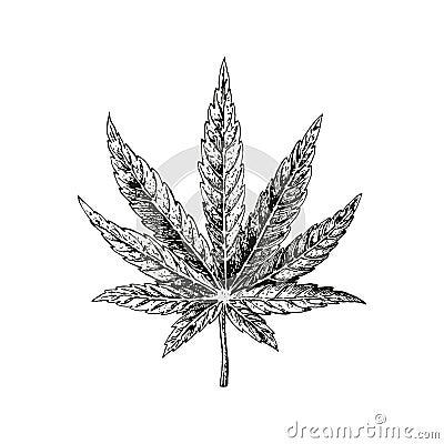 Hand drawn hemp leaf. Cannabis plant. Vector sketch of marijuana Vector Illustration