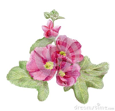 Hand-drawn pink mallow flowers
