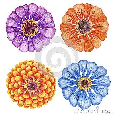 Hand-drawn zinnia flowers